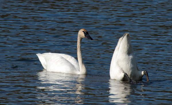 Trumpeter swans at Jensen Lake, Lebanon Hills Regional Park, Eagan, MN, USA.